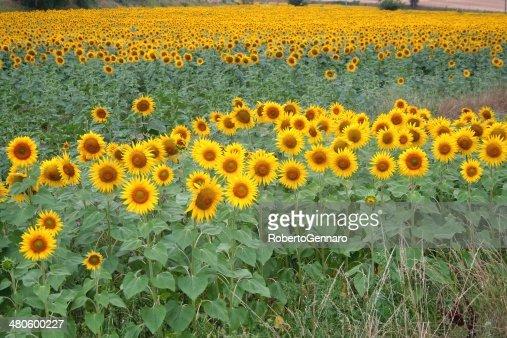 Field of sunflowers : Stock Photo