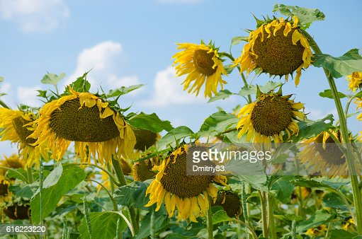 Champ de tournesols. : Photo