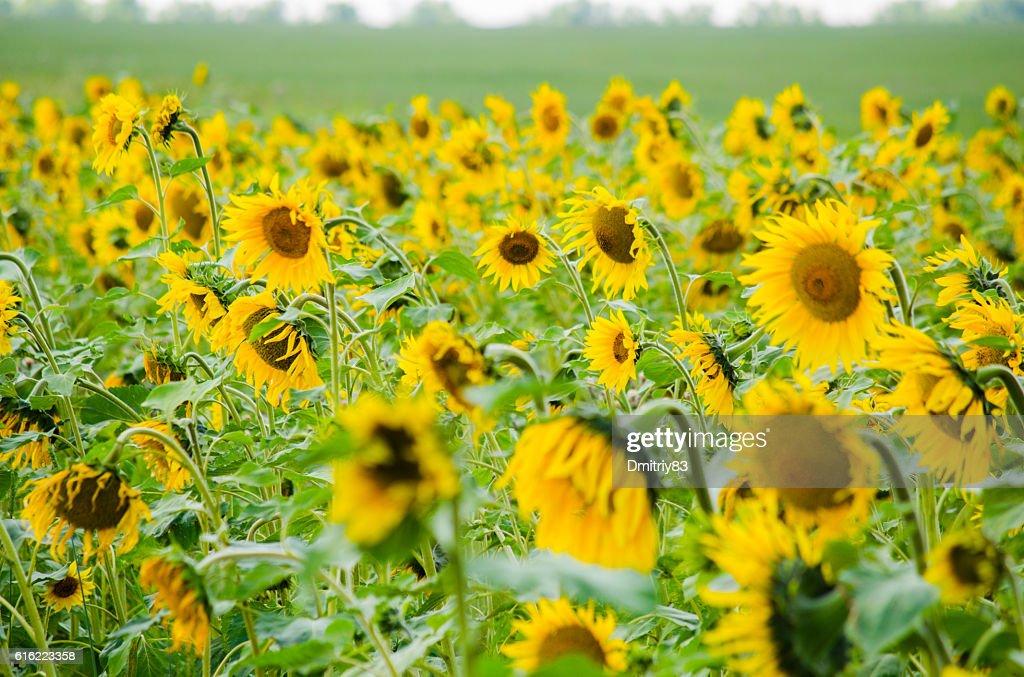 Field of sunflowers. : Stock Photo