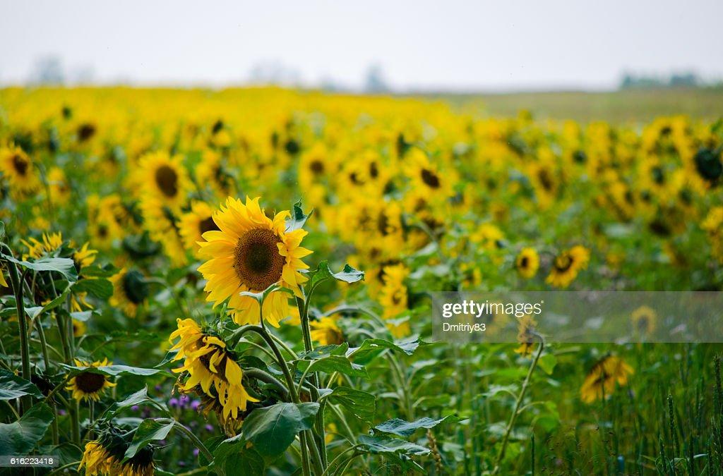 Sonnenblumenfeld. : Stock-Foto