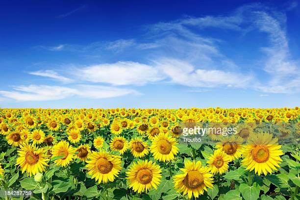 Field of sunflowers under a blue sky