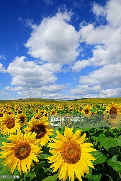 A field of sunflowers with a clear blue sky and clouds