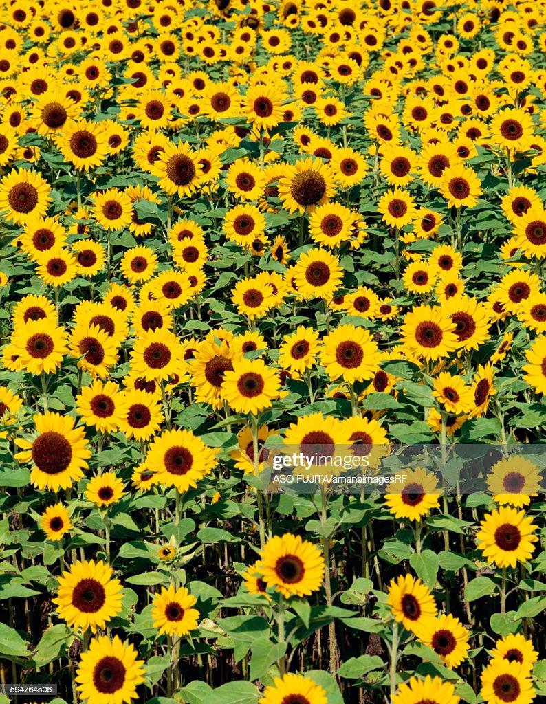 Field of sunflowers, Yamanashi Prefecture, Japan