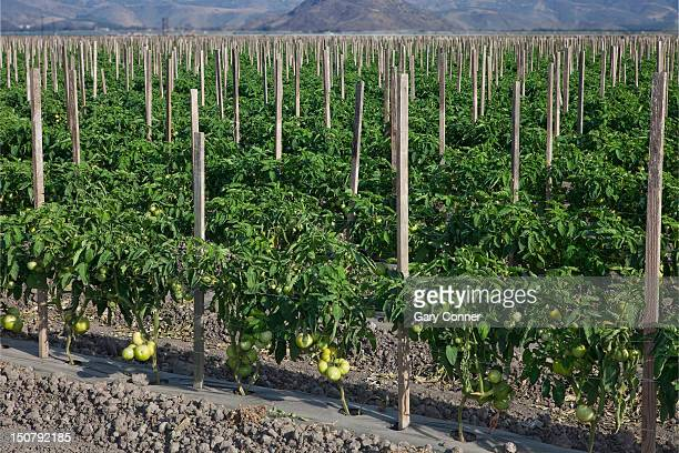 Field of tomato plants stakted