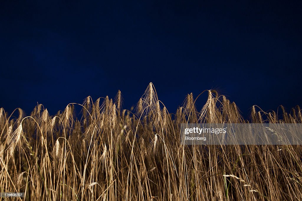 A field of triticale wheat crop stands at night before harvesting in Falguieres, southwest France, on Thursday, Aug. 15, 2013. French farmers harvested better-quality wheat than expected north and east of Paris, making up for low protein content in the southwest and raising confidence the grain will meet export requirements. Photographer: Balint Porneczi/Bloomberg via Getty Images