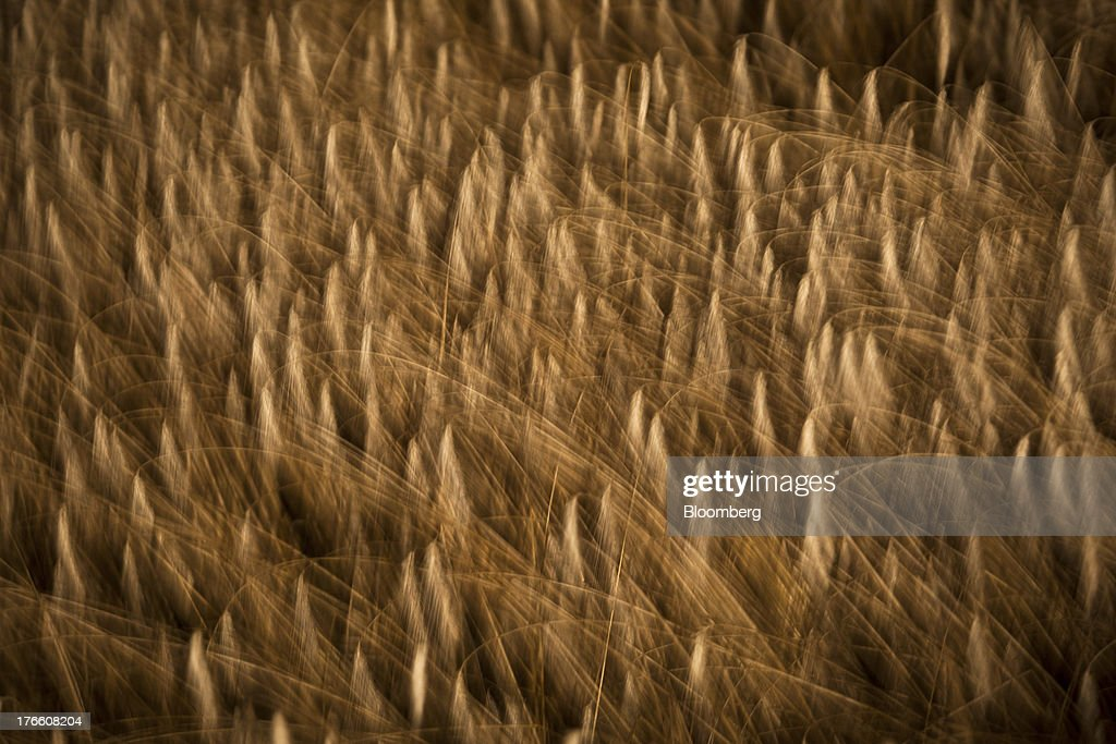 A field of triticale wheat sways in the wind at night in Falguieres, southwest France, on Thursday, Aug. 15, 2013. French farmers harvested better-quality wheat than expected north and east of Paris, making up for low protein content in the southwest and raising confidence the grain will meet export requirements. Photographer: Balint Porneczi/Bloomberg via Getty Images