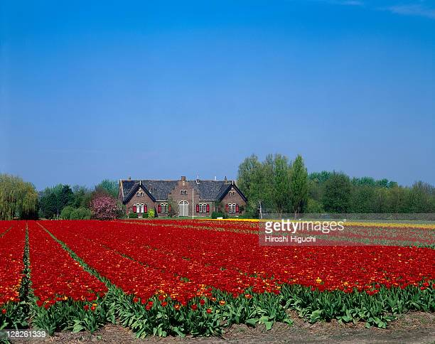 Field of tulips, Lisse, Holland, the Netherlands
