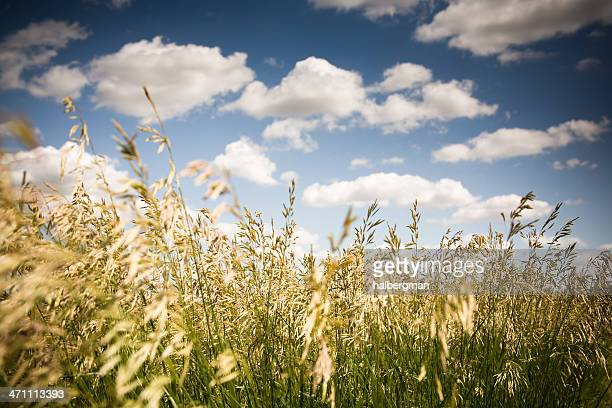 Field of Wheat and Clouds