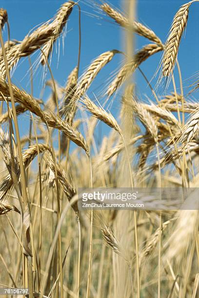 Field of wheat, close-up