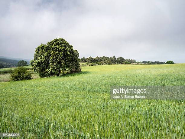 Field of wheat in spring with a tree