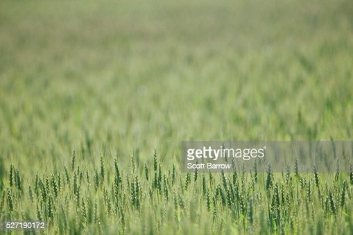 Field of wheat : Stock Photo