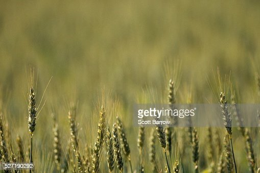 Field of wheat : Photo