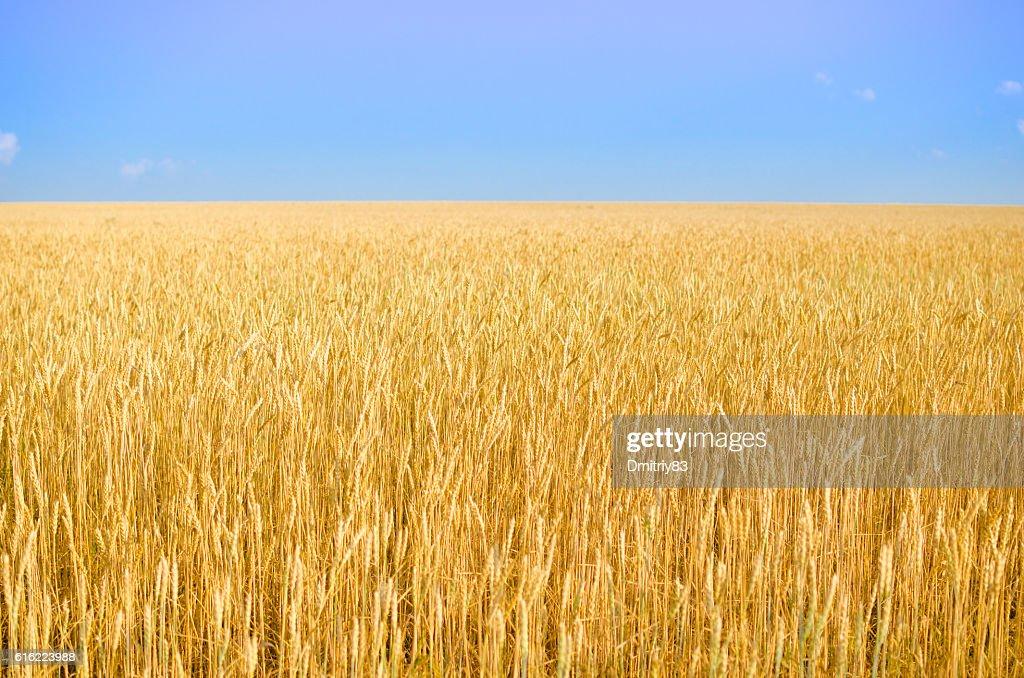 Field of wheat. : Stockfoto