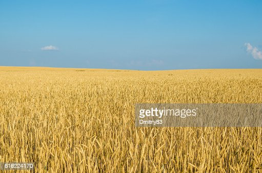 Field of wheat. : Stockfoto