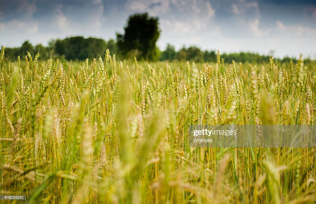 Field of wheat. : Bildbanksbilder