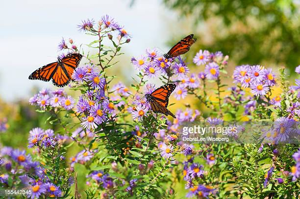 Field Of Wildflowers and Monarchs