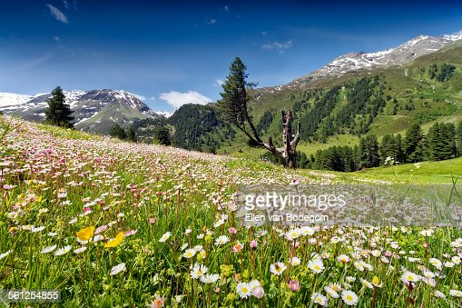 Field of wildflowers and view over Kauner Valley