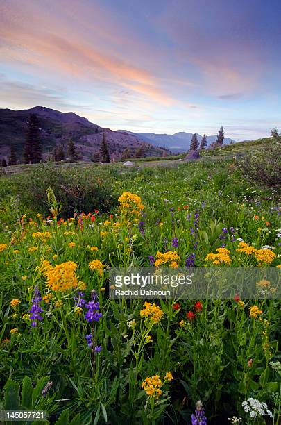 A field of wildflowers at sunset in the Sierra Nevada Mountains near Lake Tahoe, California.