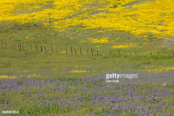 Field of wildflowers on the Carrizo Plain