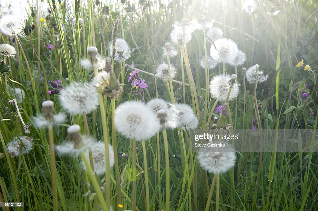 Field of wildflowers with dandelion puffs : Stock Photo