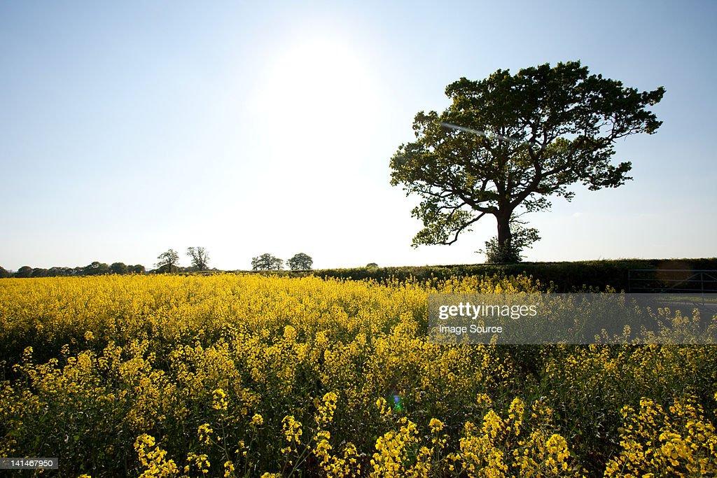 Field Of Yellow Flowers In Crockham Hill Kent Uk Stock Photo