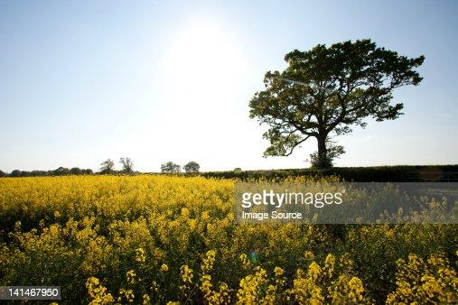 Field of yellow flowers in Crockham Hill, Kent, UK