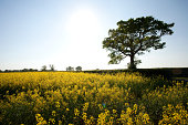 Field of yellow flowers in Crockham Hill, Kent, UK