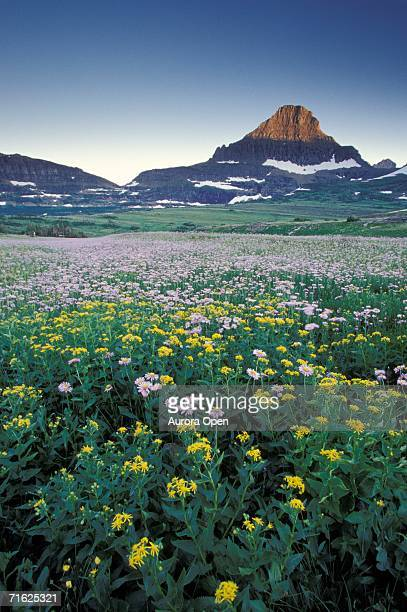 A field of yellow flowers in Glacier National Park.