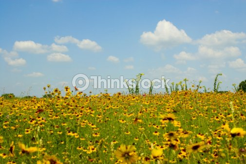 Field Of Yellow Flowers In Texas Stock Photo Thinkstock