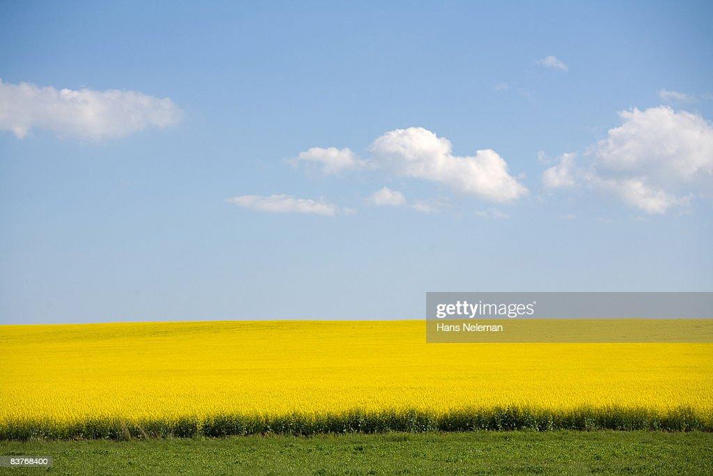 Field of yellow flowers : Stock Photo