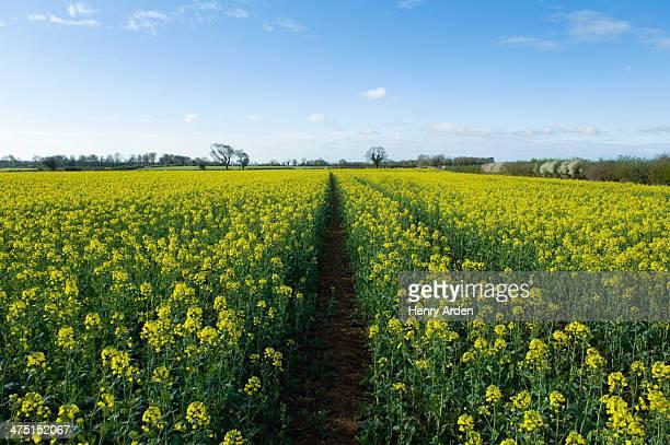 Field of yellow oil seed rape