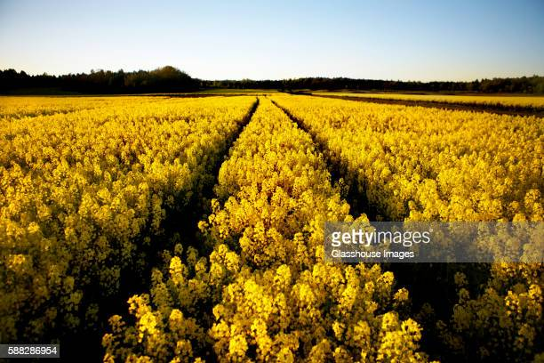 Field of Yellow Rapeseed, Sweden