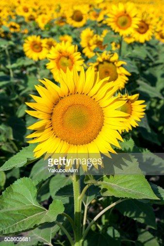 Campo amarillo sunflowers : Foto de stock