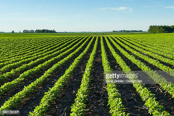 A field of young soybean plants showing corn stalks (residue) between the rows from last years crop in central Iowa
