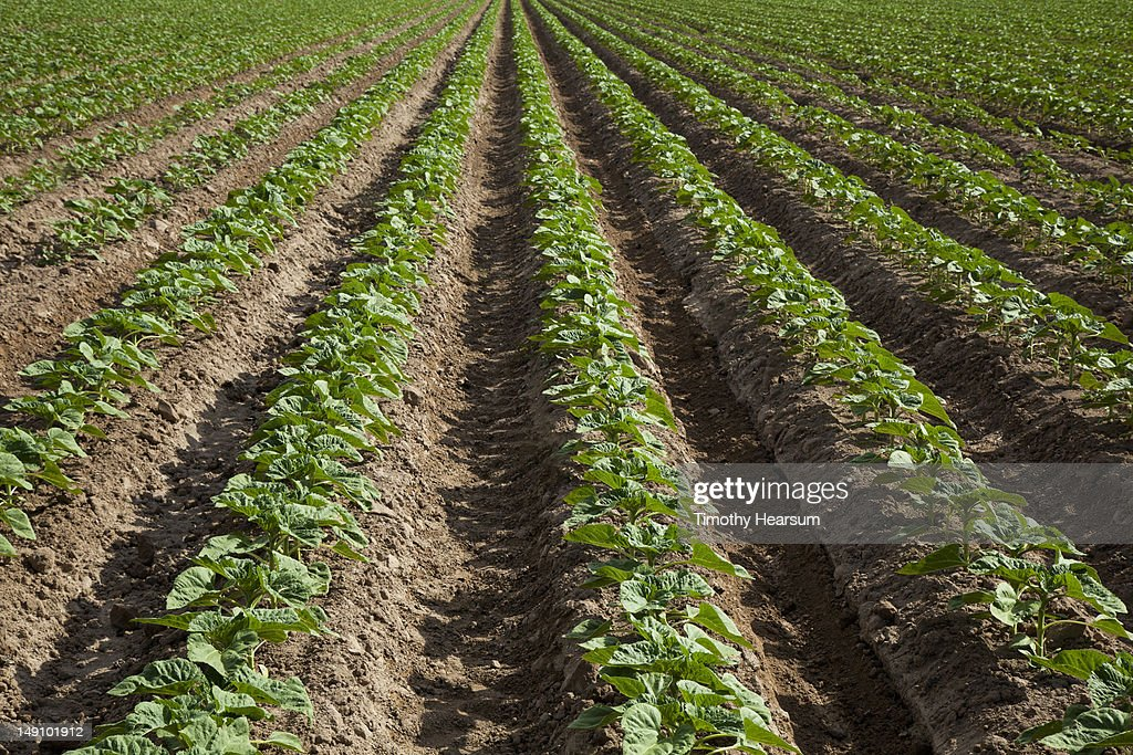 Field of young sunflower; deep irrigation trenches : Stock Photo