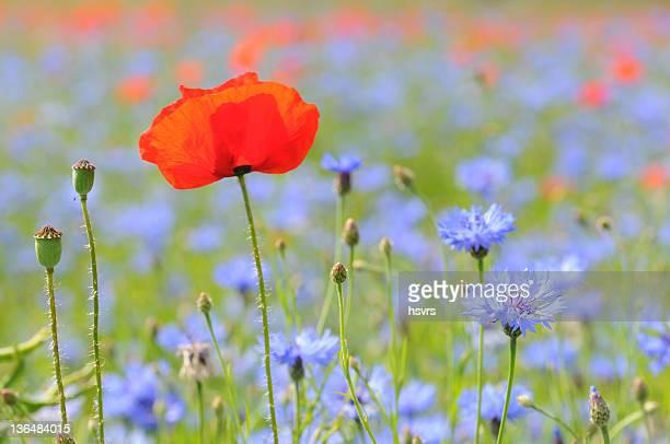 Eine rote Mohnblumen Feld Mais und blaue Blume-Mohnblumenfeld