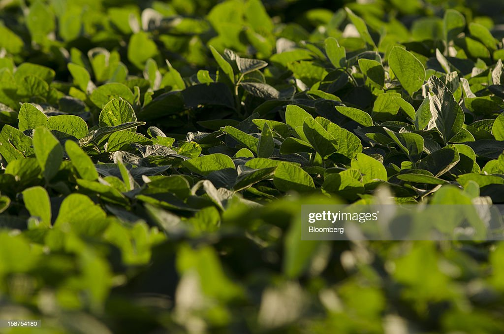 A field planted with soy sits near Salto, Argentina, on Sunday, Dec. 23, 2012. Argentina's 2012-2103 soybean crop will be 56 million metric tons, Pagina 12 said, citing an interview with Agriculture Minister Norberto Yahuar. Photographer: Diego Giudice/Bloomberg via Getty Images