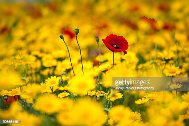 Field Poppies amongst Corn Marigold flowers