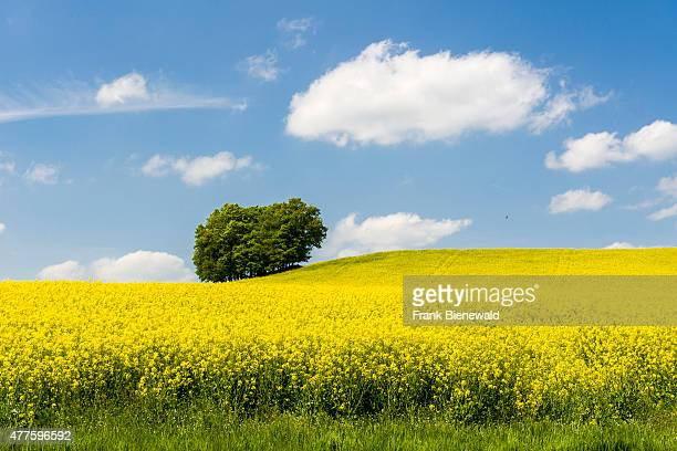LICHTENHAIN SAXONY GERMANY A field with blooming yellow Rapeseed in a hilly agricultural landscape with a tree many honey bees are in the air