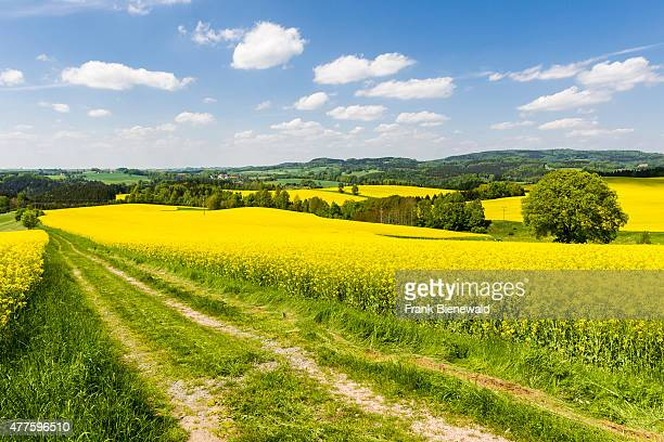 LICHTENHAIN SAXONY GERMANY A field with blooming yellow Rapeseed in an agricultural landscape with hills and forest many honey bees are in the air