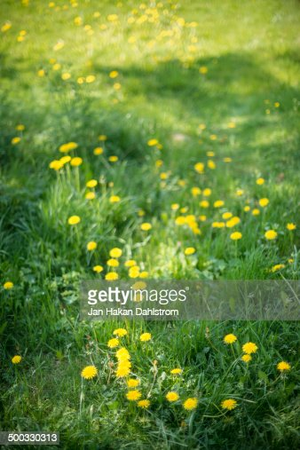 Field with dandelions