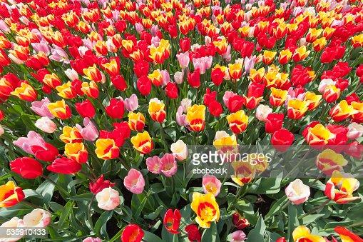 Campo con colorido tulipanes : Foto de stock