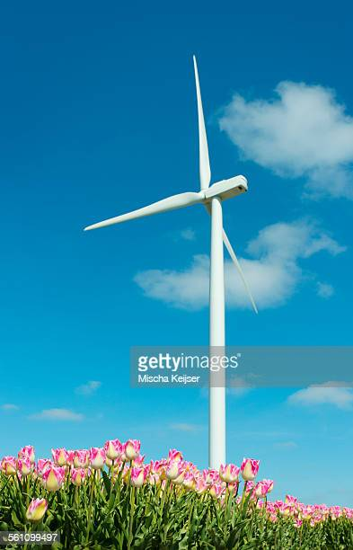 Field with pink tulip blooms and wind turbine, Zeewolde, Flevoland, Netherlands