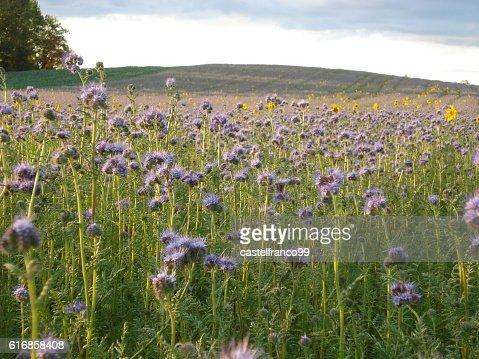 Feld mit lila Blumen und einzelnen Sonnenblumen : Stock Photo