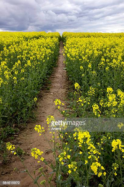 Field with rapeseed for the production of vegetable oil and biodiesel