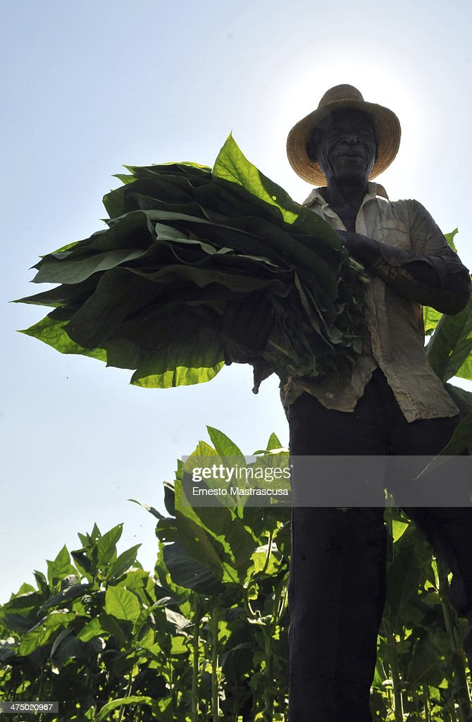 A field worker gathers tobacco leaves at a plantation on February 26 at Havana, Cuba.