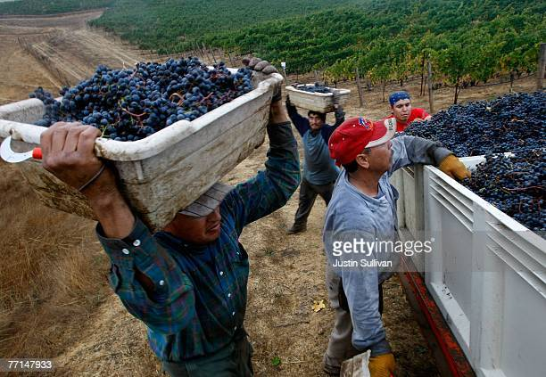 Field workers with the vineyard management company 'Vinewerkes' carry buckets of freshly picked merlot grapes at the end of a night harvest for...