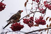 Fieldfare on a rowan tree red berry in a beak