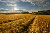 Fields of Gold - Barley