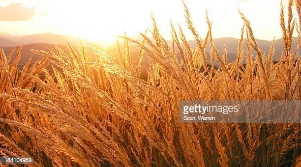 Fields Of Gold Wheat